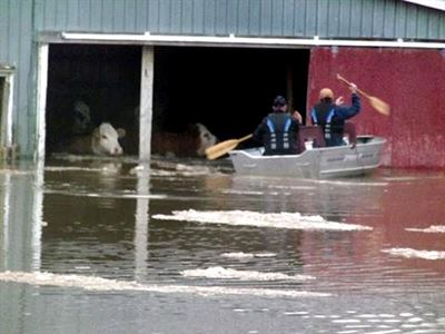 Rescurers pull cattle from a flooded barn